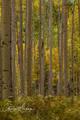 Aspen, Aspen boles, Colorado