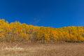 Aspen Leaves, Kebler Pass, Gunnison County, Colorado