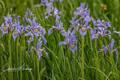 Rocky Mountain Iris, Iris, Summit County, Colorado