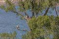 Eagles, Fledglings, Green Mountain Reservoir, Summit County, Colorado