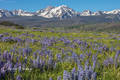 Colorado, Gore Range, Landscape, Lupines, Silky Lupines, Summit County