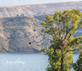 Green Mountain Reservoir, Summit County, Colorado, Lake Trout, Fledglings, Lunch