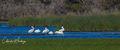 American White Pelicans, Myakka River, Sarasota, Florida