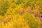 Aspens, Telluride, Colorado, Impressionism