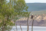 Eagle, Green Mountain Reservoir, Summit County, Colorado