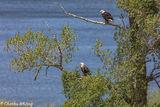 Bald Eagles, Green Mountain Reservoir, Colorado