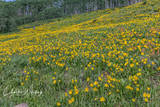 Aspen Sunflowers, Indian Paintbrush, Ohio Pass