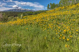 Aspen Sunflowers, Green Gentian, Anthracite Range, Ohio Pass