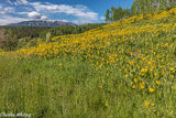 Aspen Sunflowers, Green Gentian, Anthracite Range, Ohio Pass