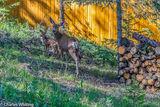 Mule Deer, deer, doe, fawn, Evergreen, Colorado