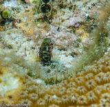 Spinyhead Blenny, Blenny, Bonaire, Netherlands Antilles