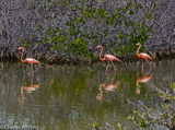 Flamingos, Bonaire, Netherlands Antilles
