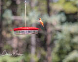 Rufous Hummingbird, Hummingbird, Colorado