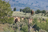 Eagles, Green Mountain Reservoir, Summit County, Colorado