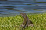 Green Iguana, Deerfield Beach, FL