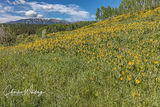 Aspen Sunflowers and Green Gentian