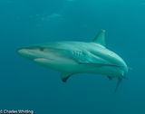 Caribbean Blacktip Reef Shark, shark, Cay Sal Banks, Bahamas