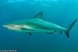 Caribbean Blacktip Reef shark, Cay Sal Banks, Bahamas