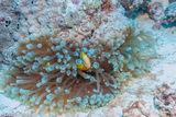 Orange-Finned Anemonefish, Giant Anemone, Bikini Atoll, Marshall Islands, Pacific Ocean