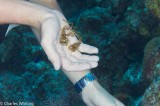 Decorator Crab, Little Cayman