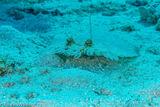 Flounder, Lighthouse Reef, Belize