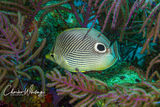 Foureye Butterflyfish, Lighthouse Reef, Belize