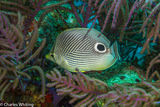 Foureye Butterflyfish, Lighthouse Reef, Belize
