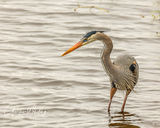 Great Blue Heron, Myakka River, Sarasota, Florida