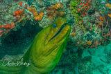 Green Moray Eel, Black Condo Reef, Boynton Beach, Florida