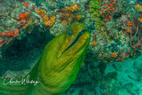 Green Moray Eel, Bloody Bay Wall, Little Cayman, Cayman Islands, British West Indies