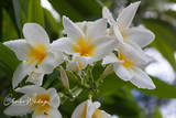 Frangipani, flowers, water droplets, Providenciales, Turks and Caicos Islands