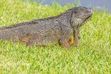 Green Iguana, Deerfield Beach, Florida