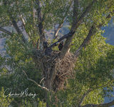 Eagle, Fledgling, Nest, Green Mountain Reservoir, Summit County, Colorado