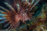 lionfish, Belize, Lighthouse Reef