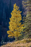 Aspen, Lizard Head Pass, San Miguel County, Colorado