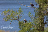 American Bald Eagles, Green Mountain Reservoir, Colorado, Summit County
