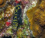 Chain Eel, Eel, Reef, Bonaire, Netherlands Antilles