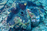Giant Clam, Bikini Atoll, Marshall Islands, Pacific Ocean