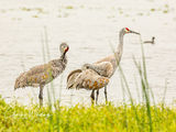 Sandhill Cranes, Myakka River, Sarasota, Florida, wetlands