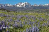 Gore Range, Purple Lupine, Summit County, Colorado