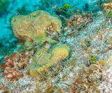 Saddled Blenny, Tunicate, Bloody Bay Wall, Little Cayman, Cayman Islands