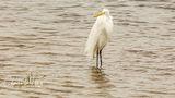 Snowy Egret, Myakka River, Sarasota, Florida