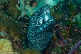Spotted Moray Eel, Black Condo Reef, Boynton Beach, Florida