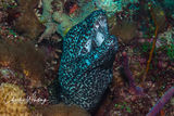 Spotted Moray Eel, Black Condo Reef, Boynton Beach Ledge, Florida