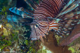SCUBA, Underwater Photography, Turks and Caicos Islands, Lionfish
