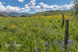 Purple Lupine, Aspen Sunflowers, Crested Butte, Colorado