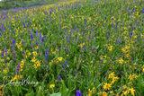 wild flowers, blue larkspur, yellow Aspen Sunflowers, Crested Butte, Colorado