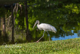 Wood Stork, Deerfield Beach, Florida