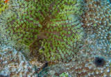 SCUBA, Underwater Photography, Turks and Caicos Islands, Brown Banded Shrimp, Squat Anemone Shrimp