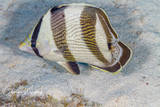 SCUBA, Underwater Photography, Turks and Caicos Islands, Banded Butterflyfish